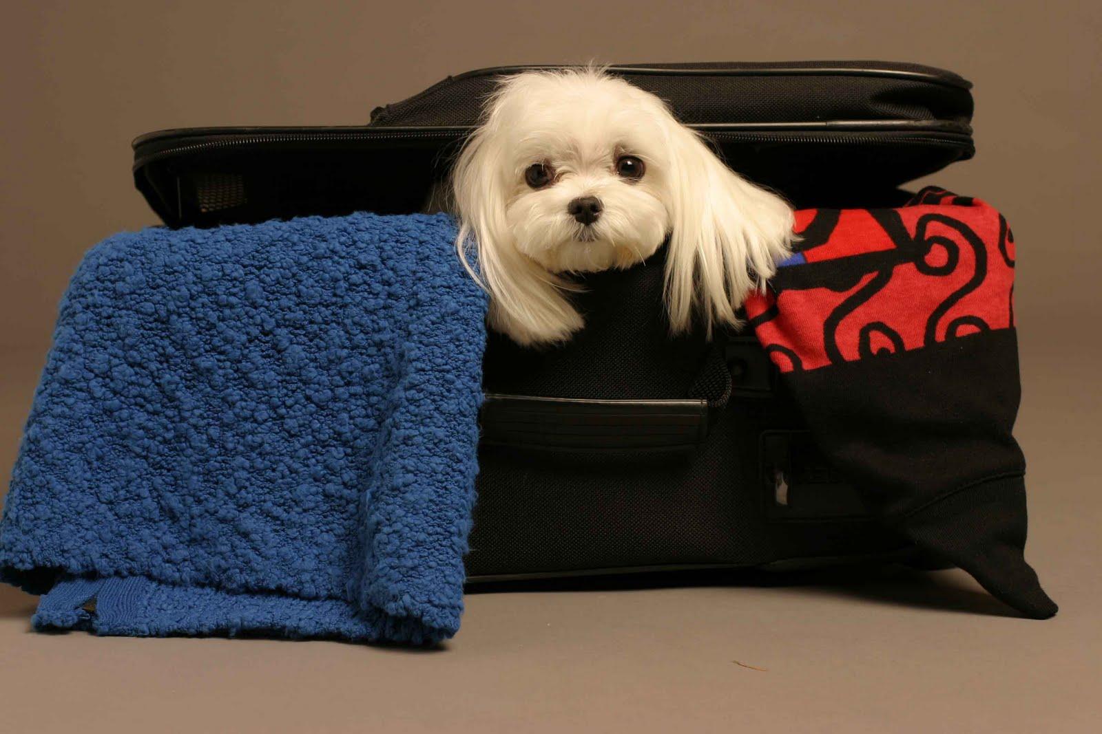 Como cuidar do seu bicho de estimação em viagens de avião