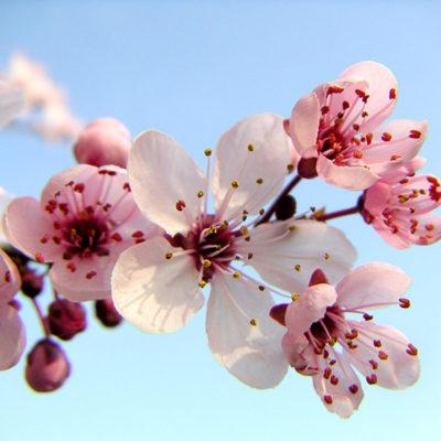 Sakura – Festa da Cerejeira