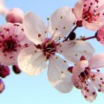 cerejeira-sakura