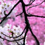 flor-cereja