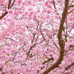 flores-cerejeira