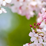 sakura-flor