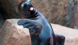 poliglota-foca